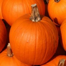 Pumpkin Small Sugar -15 seeds
